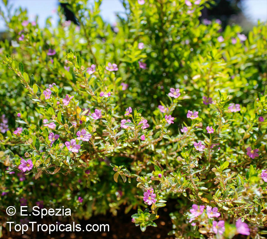 What is the size of a Mexican Heather?