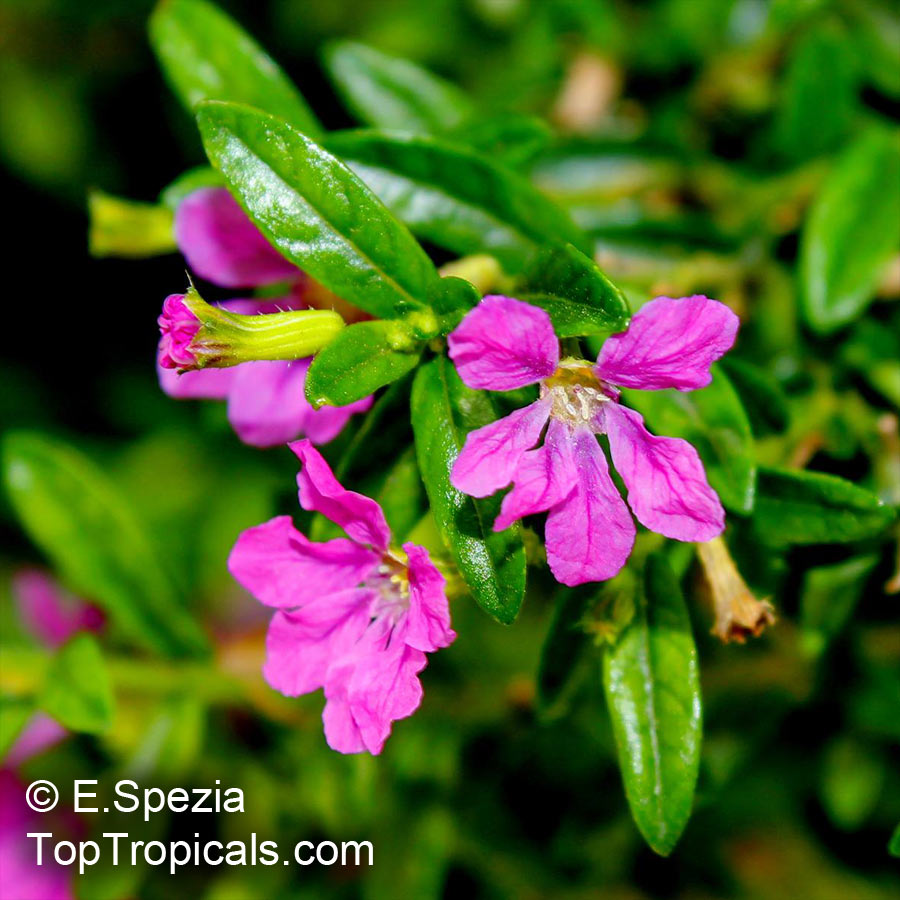 Which Plant Was Native To The New World: Cuphea Hyssopifolia, Mexican False Heather, False Heather