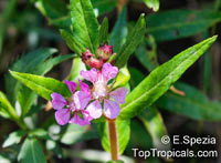 Cuphea sp., Cigarette Plant  Click to see full-size image
