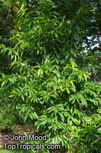 Erblichia odorata , Flor de Fuego, Butterfly Tree Click to see full-size image