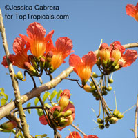 Fernandoa magnifica, Heterophragma longipes , African Flame