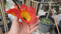 Fernandoa magnifica, Heterophragma longipes , African Flame  Click to see full-size image
