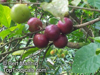 Flacourtia indica - seeds  Click to see full-size image