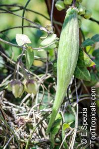 Funastrum elegans, Sarcostemma elegans, Climbing Milkweed  Click to see full-size image