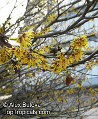 Hamamelis mollis, Chinese Witch Hazel  Click to see full-size image