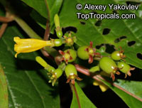 Hamelia axillaris, Balsamillo, Guayabo Negro   Click to see full-size image
