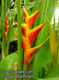 Heliconia bihai, Bihai bihai, Heliconia humilis, Macaw Flower  Click to see full-size image