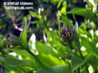Hosta sp., Plantain Lily, Giboshi, HostasClick to see full-size image