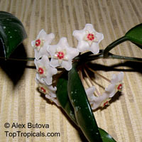 Hoya carnosa, Wax Plant  Click to see full-size image
