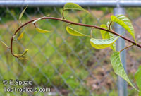 Ipomoea arborescens, Tree Morning Glory, Nahuatl, Ozote, Palo Blanco  Click to see full-size image