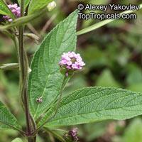Lantana trifolia, Threeleaf Shrubverbena   Click to see full-size image