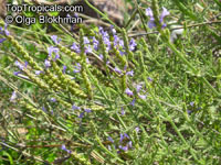 Lavandula pubescens, Downy LavenderClick to see full-size image