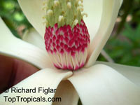 Magnolia soulangeana - seeds