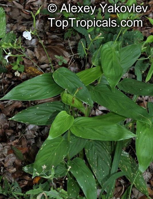 Maranta Arundinacea Distribution Maranta Arundinacea West