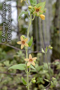 Matelea sp.  Click to see full-size image