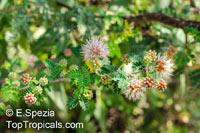 Mimosa borealis, Fragrant Mimosa, Pink Mimosa  Click to see full-size image