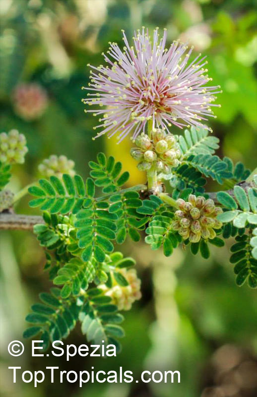 Tropical plant catalog toptropicals mimosa borealis fragrant mimosa pink mimosa click to see full size image mightylinksfo