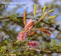 Mimosa dysocarpa, Velvet Pod Mimosa, Gatuno, Velvetpod Catclaw  Click to see full-size image