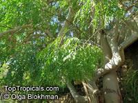 Moringa stenopetala, Horseradish tree, HalekoClick to see full-size image