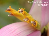 Musa sp., Banana, Bananier Nain, Canbur, Curro, PlantainClick to see full-size image