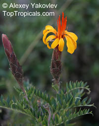 Mutisia acuminata, Mutisia, Chinchircuma   Click to see full-size image