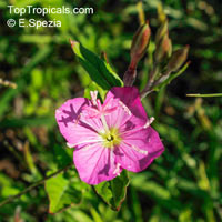 Oenothera sp., Evening Primrose, Suncups, SundropsClick to see full-size image