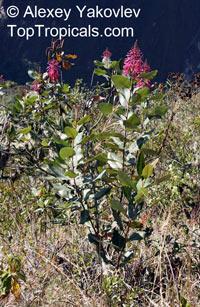 Oreocallis grandiflora, Embothrium grandiflorum, Oreocallis, Cucharilla  Click to see full-size image