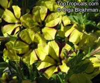 Petunia x hybrida, Petunia  Click to see full-size image