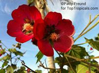 Phymosia umbellata - Cranberry Malva Aparasolada   Click to see full-size image
