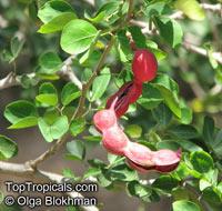 Pithecellobium dulce, Inga dulcis, Mimosa dulcis, Bread-and-Cheeese, Madras Thorn, Manila Tamarind  Click to see full-size image