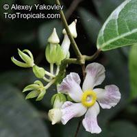 Prestonia sp., Prestonia  Click to see full-size image
