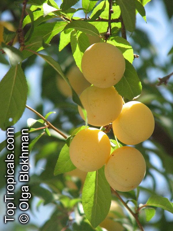 prunus cerasifera  prunus divaricata  cherry plum  myrobalan plum  st  lukes flowering plum