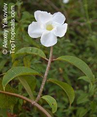 Rhabdadenia biflora, Mangrove Vine, Rubber Vine  Click to see full-size image