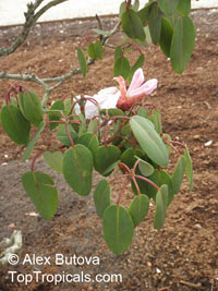 Rhododendron orbiculare, Round-leaved Rhododendron  Click to see full-size image