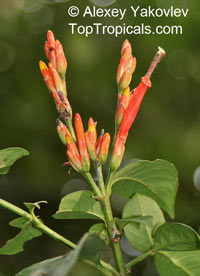 Sanchezia scandens, Steirosanchezia scandens, Sanchezia, Fire FingersClick to see full-size image
