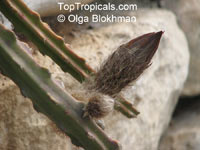 Selenicereus grandiflorus, Queen of the Night, Large-flowered Cactus, Sweet-Scented Cactus, Vanilla Cactus  Click to see full-size image