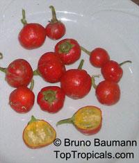 Solanum gilo, Scarlet Eggplant, Gilo, Jilo  Click to see full-size image
