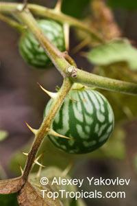 Solanum sp., Solanum  Click to see full-size image