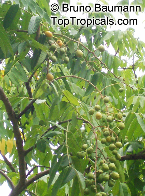 how to grow hog plum from seed