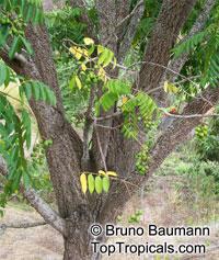 Spondias mombin, Spondias purpurea var. lutea, Yellow Mombin, Hog Plum  Click to see full-size image