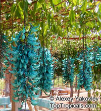 Strongylodon macrobotrys, Turquoise Jade Vine, Blue Jade Vine  Click to see full-size image