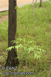 Tacca leontopetaloides, Green Bat Flower, Polynesian ArrowrootClick to see full-size image