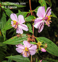 Tibouchina rufipilis, Glory Tree  Click to see full-size image