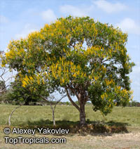 Vochysia lehmannii, Saladillo Blanco