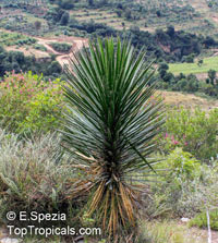 Yucca sp., Yucca, Adams NeedleClick to see full-size image