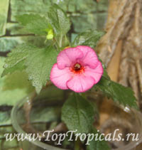 Achimenes sp., Cupid's Bower, Hot Water Plant, Monkey-Faced Pansy, Magic Flower, Orchid Pansy