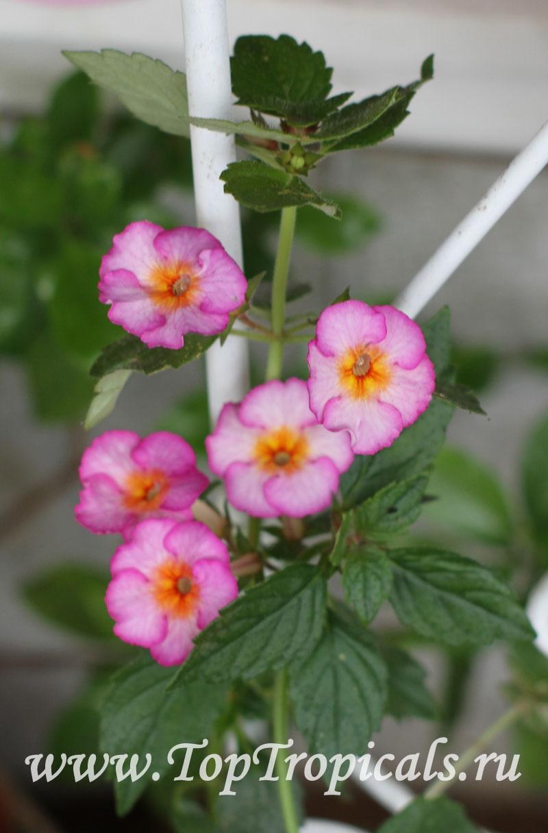 Garden Bush: Achimenes Sp., Cupid's Bower, Hot Water Plant, Monkey