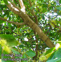 Dovyalis caffra, Kei Apple  Click to see full-size image