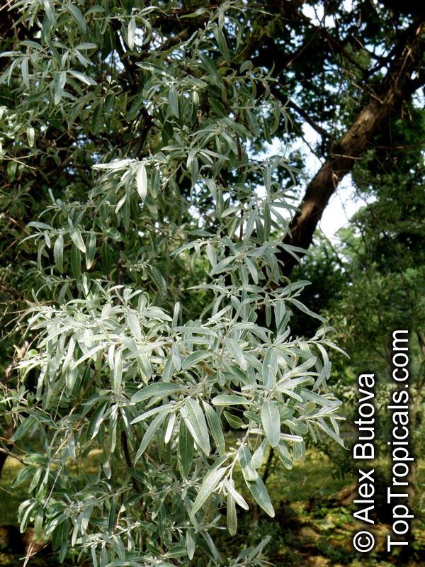Elaeagnus Angustifolia Russian 89