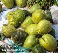 Sechium edule, Sicyos edule, Chayote, Chayote Squash, Vegetable Pear, Chaw Chaw  Click to see full-size image